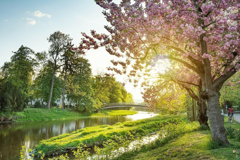Kirschblüte in Bad Neuenahr