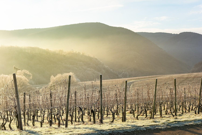 Eisige Weinberge im Sonnenaufgang