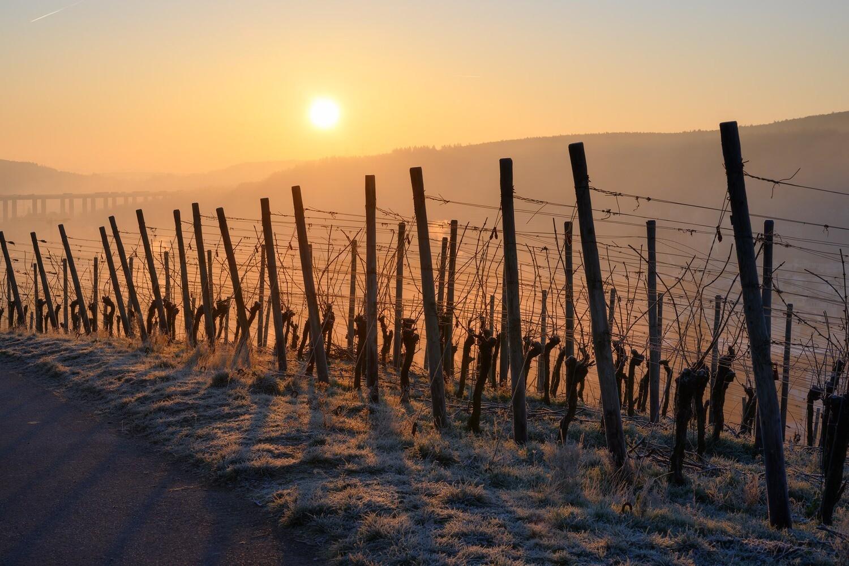 Wintersonnenaufgang mit Weinreben