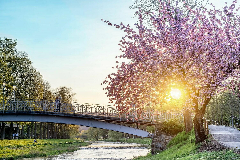 Kirschblüte an der Ahr zum Sonnenuntergang