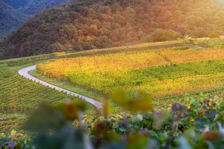 Rotweinwanderweg im Herbst