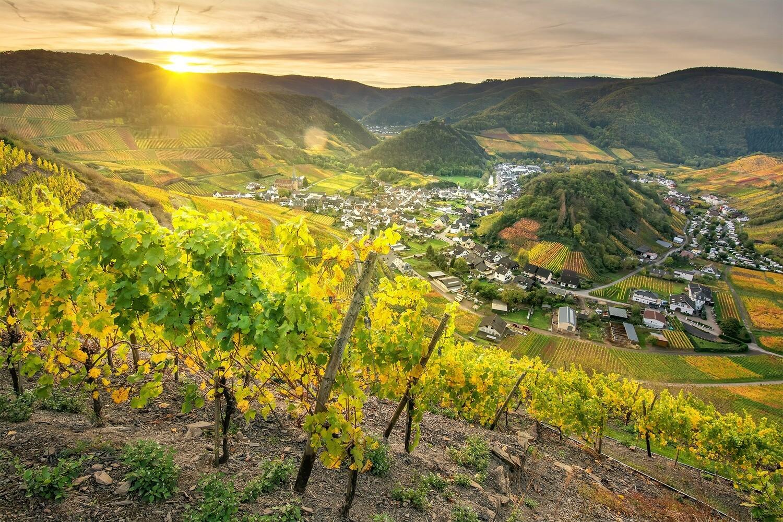Goldene Weinreben in Mayschoß