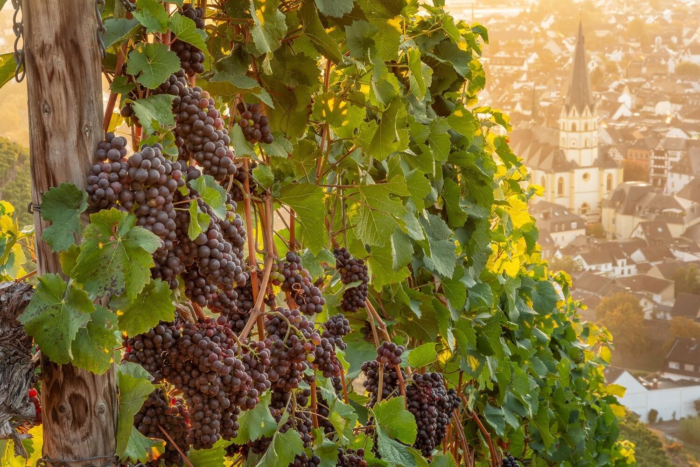 Weintrauben über Ahrweiler