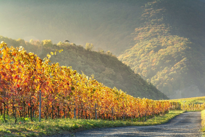 Goldene Weinreben - Leinwand