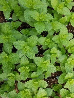 Herb Plant Assortment for Early Planting