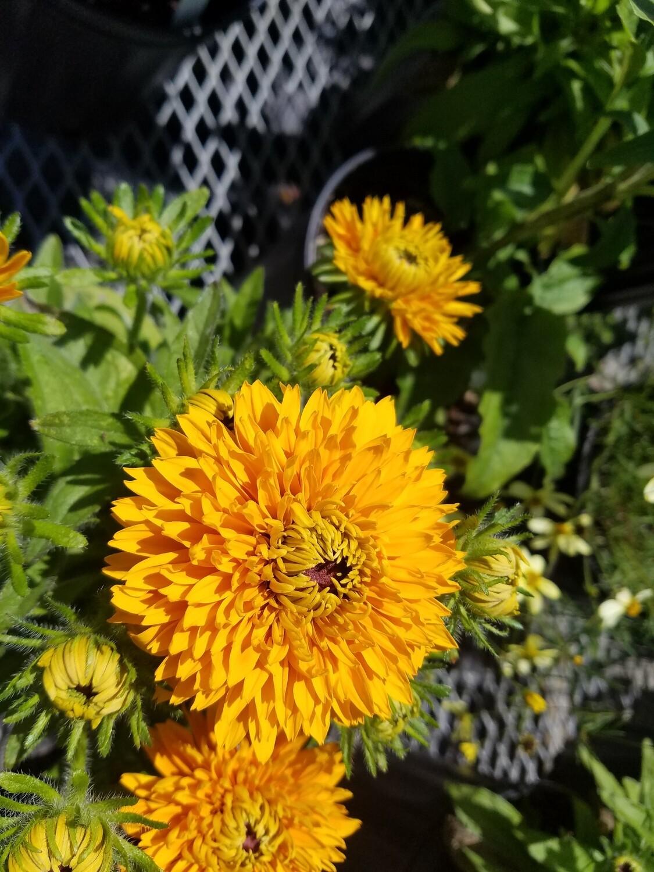 Botanical Sunshine Collection