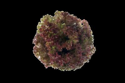 紅珊瑚生菜(連根)