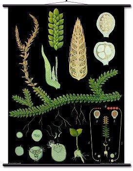 Educational Wall Chart Selaginella, Moss-like Plants