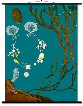 Educational Wall Chart Bladderwrack