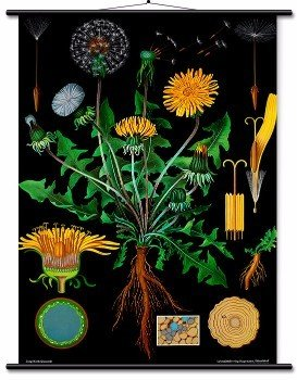 Educational Wall Chart Dandelion