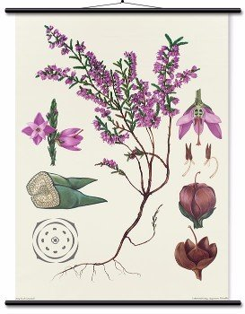 Educational Wall Chart Heather