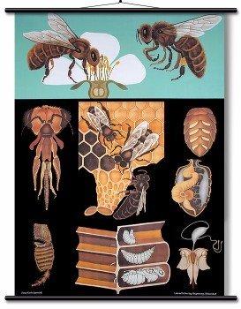 Educational Wall Chart Honey Bee