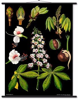 Educational Wall Chart Horse-chestnut
