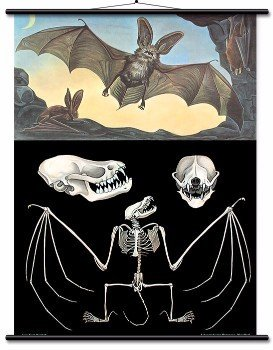 Educational Wall Chart Long Eared Bat