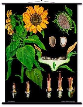 Educational Wall Chart Sunflower