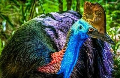 Cassowary 5  - Full Drill Diamond Painting - Specially ordered for you. Delivery is approximately 4 - 6 weeks.