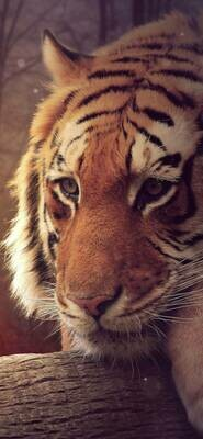 Big Tiger - Full Drill Diamond Painting - Specially ordered for you. Delivery is approximately 4 - 6 weeks.