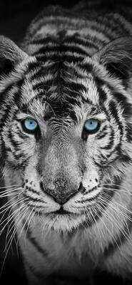 Black And White Tiger Blue Eyes - Full Drill Diamond Painting - Specially ordered for you. Delivery is approximately 4 - 6 weeks.