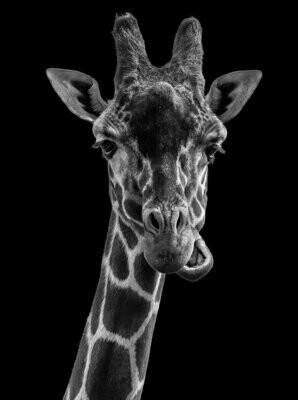 Black And White Giraffe - Full Drill Diamond Painting - Specially ordered for you. Delivery is approximately 4 - 6 weeks.