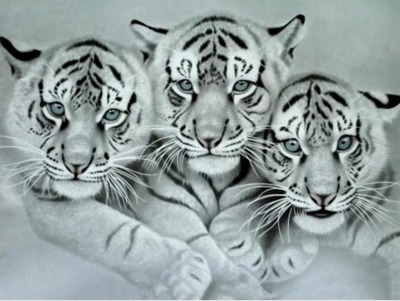 Black And White Tigers - Full Drill Diamond Painting - Specially ordered for you. Delivery is approximately 4 - 6 weeks.