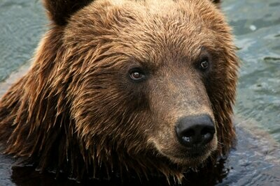Bear Close Up- Full Drill Diamond Painting - Specially ordered for you. Delivery is approximately 4 - 6 weeks.