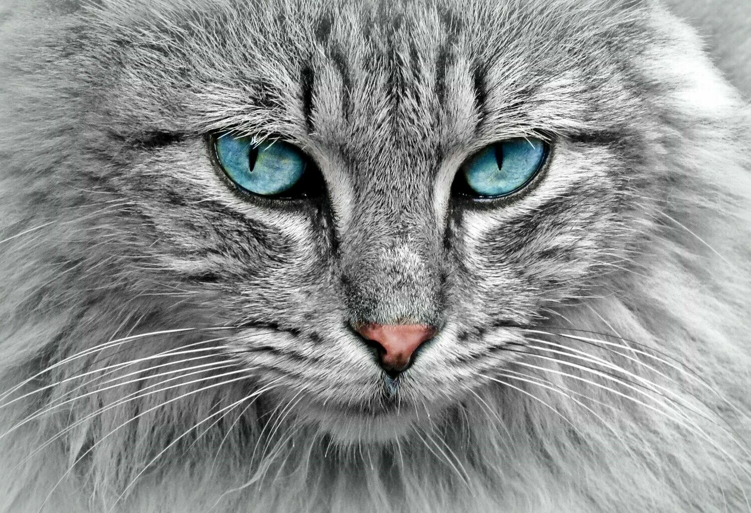 Blue Eyed Cat - Full Drill Diamond Painting - Specially ordered for you. Delivery is approximately 4 - 6 weeks.