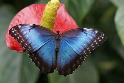 Blue Morpho Butterfly- Full Drill Diamond Painting - Specially ordered for you. Delivery is approximately 4 - 6 weeks.