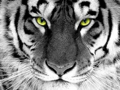 Close Black And White Tiger - Full Drill Diamond Painting - Specially ordered for you. Delivery is approximately 4 - 6 weeks.