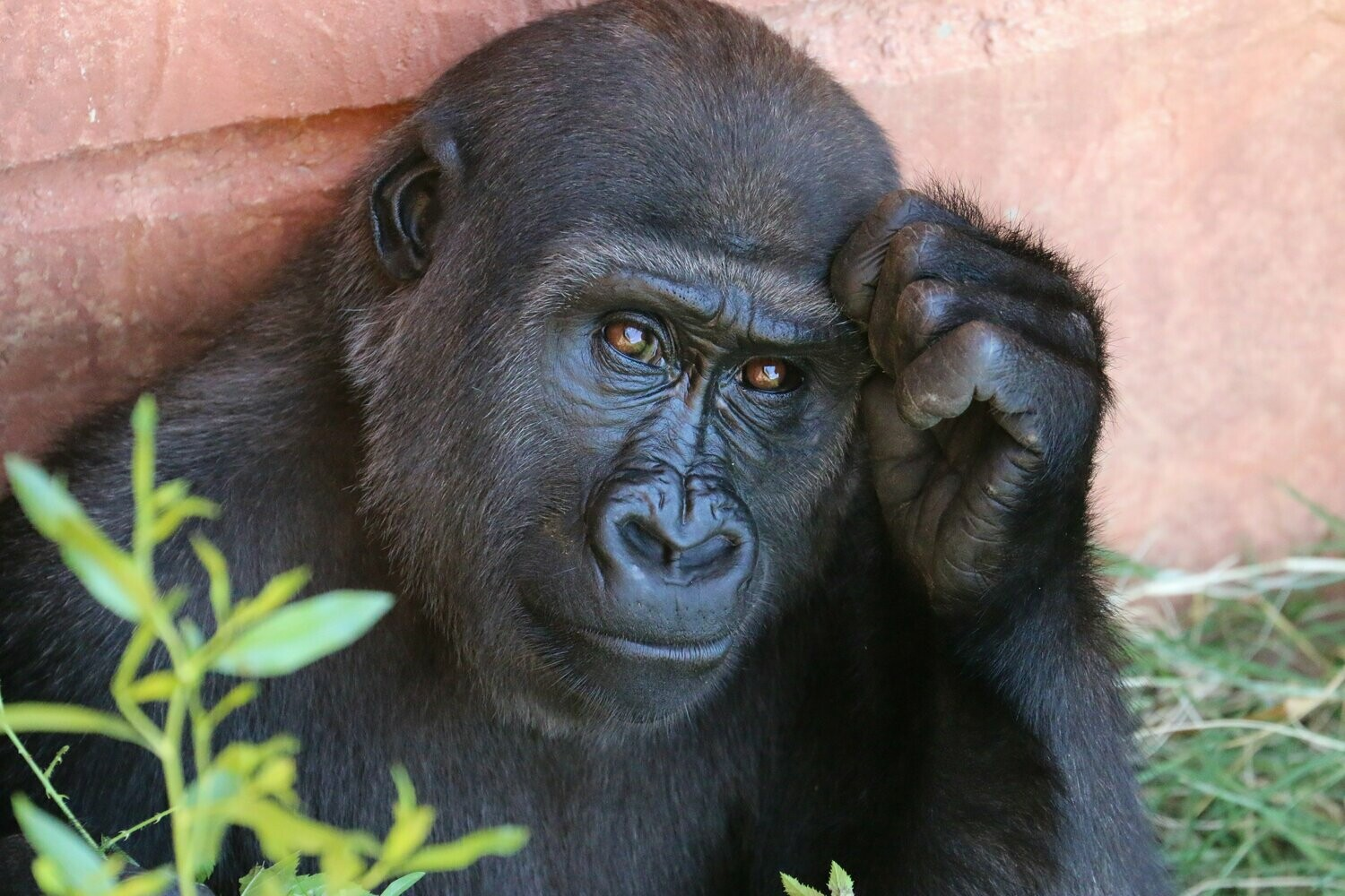 Gorilla Close Up - Full Drill Diamond Painting - Specially ordered for you. Delivery is approximately 4 - 6 weeks.