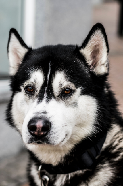 Husky black and white - Full Drill Diamond Painting - Specially ordered for you. Delivery is approximately 4 - 6 weeks.