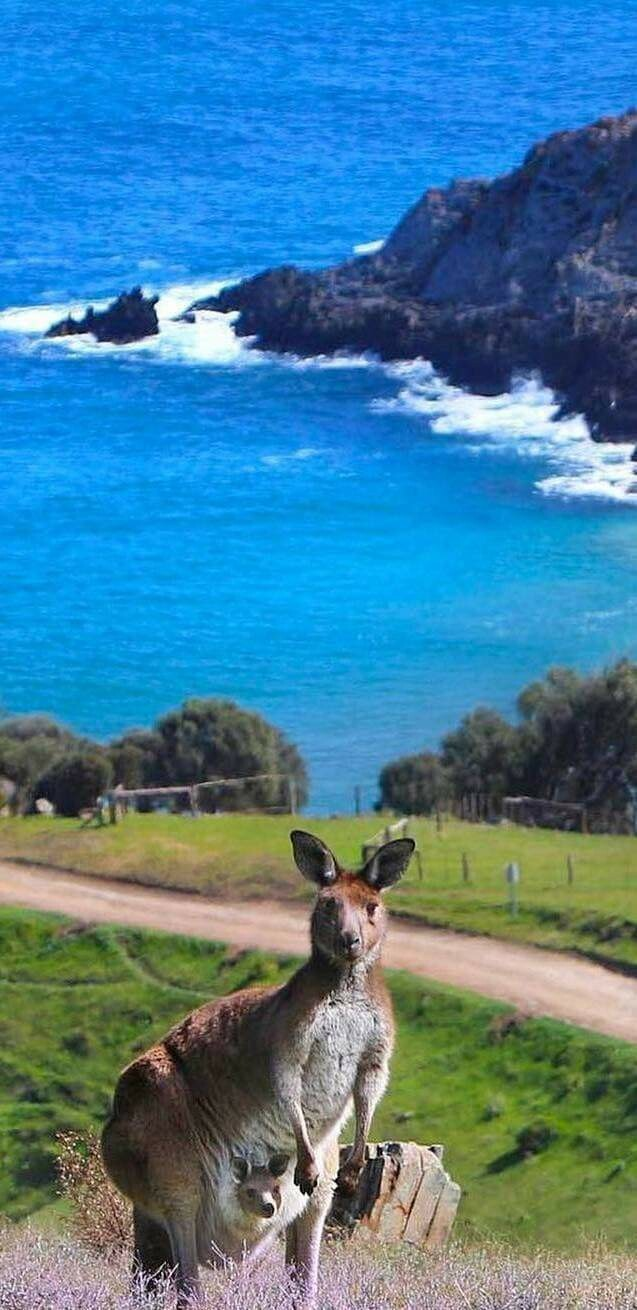 Kangaroo By The Sea Scenery - Full Drill Diamond Painting - Specially ordered for you. Delivery is approximately 4 - 6 weeks.