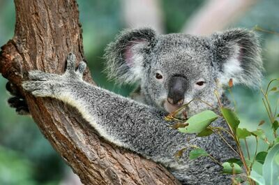 Koala 2 - Full Drill Diamond Painting - Specially ordered for you. Delivery is approximately 4 - 6 weeks.