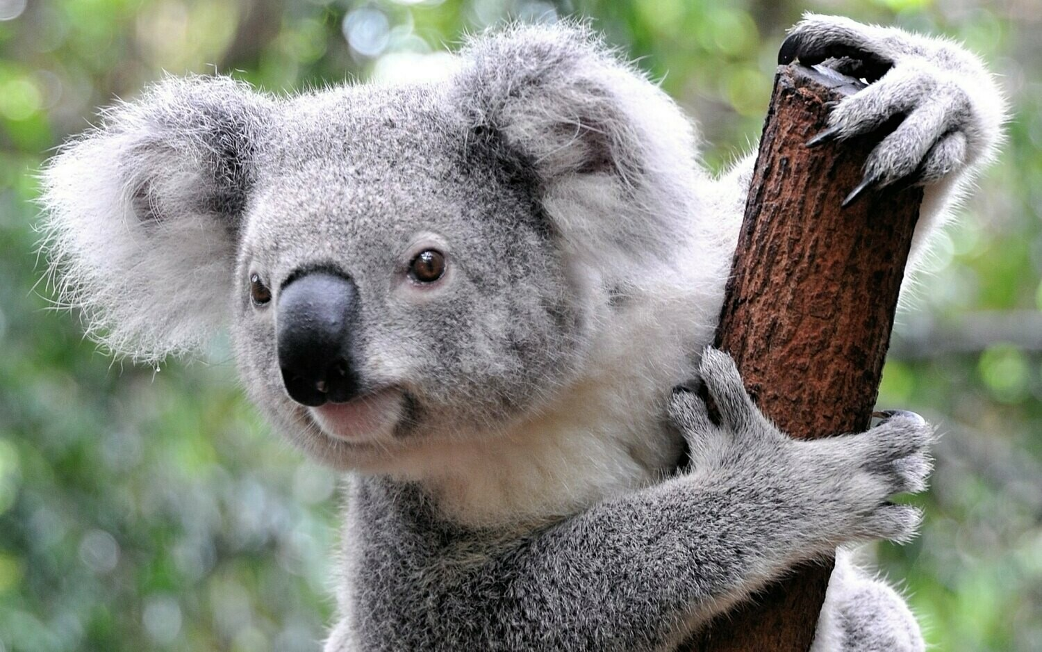Koala 3 - Full Drill Diamond Painting - Specially ordered for you. Delivery is approximately 4 - 6 weeks.