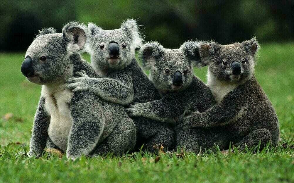 Koala's In A Row - Full Drill Diamond Painting - Specially ordered for you. Delivery is approximately 4 - 6 weeks.