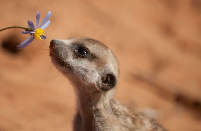 Meerkats 04 - Full Drill Diamond Painting - Specially ordered for you. Delivery is approximately 4 - 6 weeks.