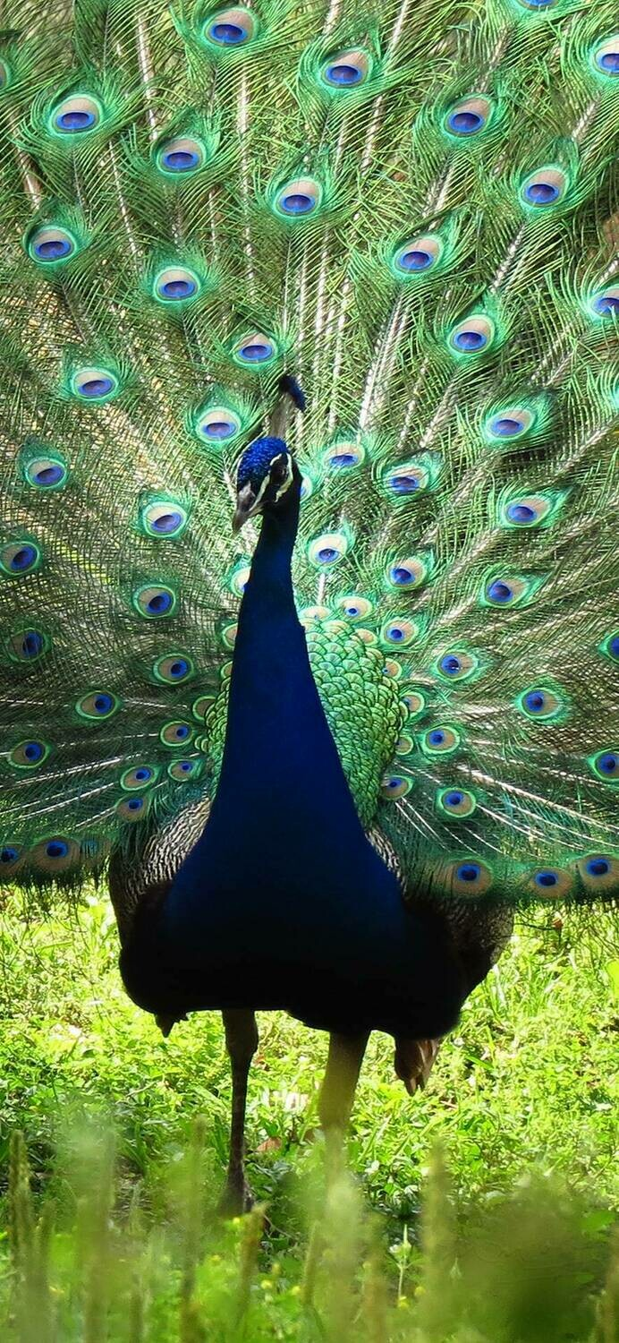Peacock Portrait - Full Drill Diamond Painting - Specially ordered for you. Delivery is approximately 4 - 6 weeks.