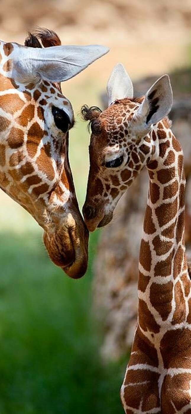 Mum And Baby Giraffe - Full Drill Diamond Painting - Specially ordered for you. Delivery is approximately 4 - 6 weeks.