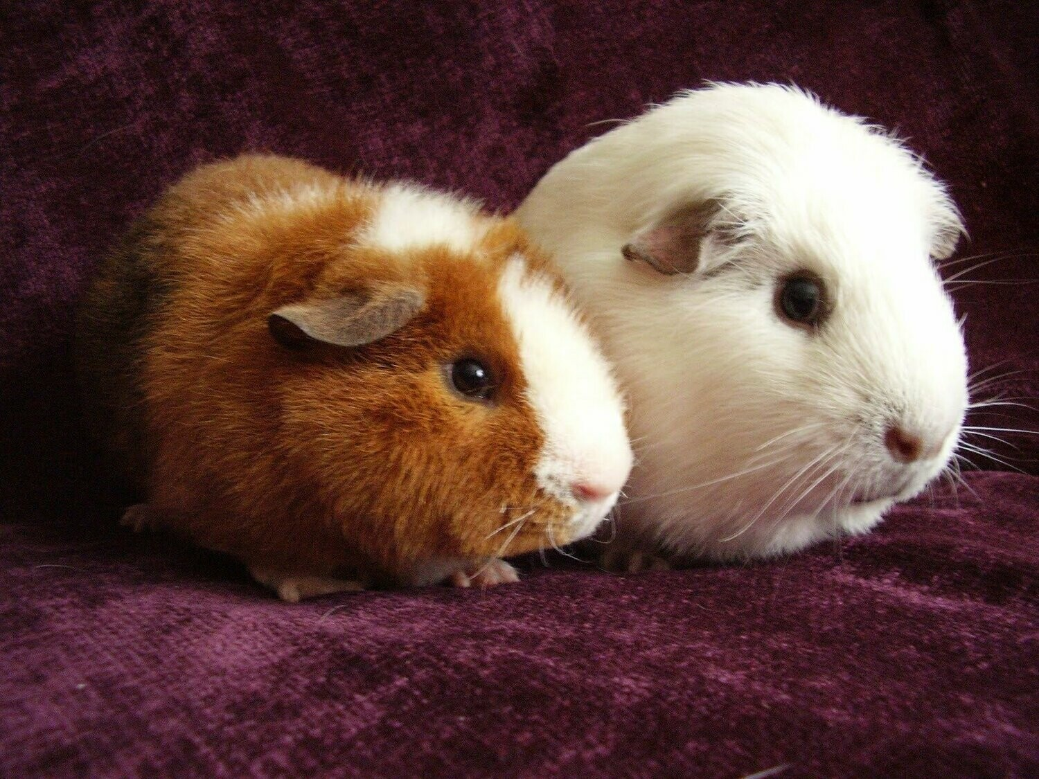 Guinea Pigs - Full Drill Diamond Painting - Specially ordered for you. Delivery is approximately 4 - 6 weeks.