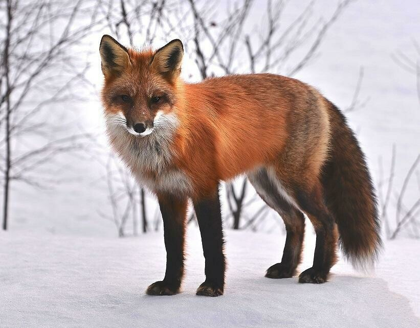 Fox In Snow - Full Drill Diamond Painting - Specially ordered for you. Delivery is approximately 4 - 6 weeks.