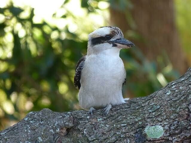 Kookaburra 1 - Full Drill Diamond Painting - Specially ordered for you. Delivery is approximately 4 - 6 weeks.