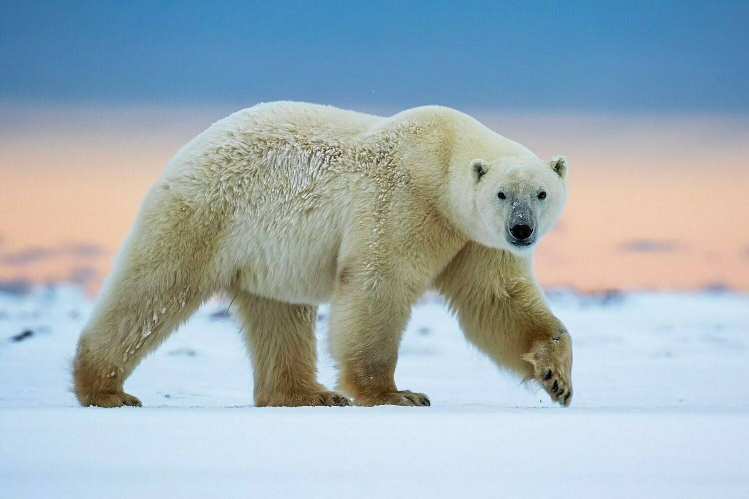 Polar Bear - Full Drill Diamond Painting - Specially ordered for you. Delivery is approximately 4 - 6 weeks.