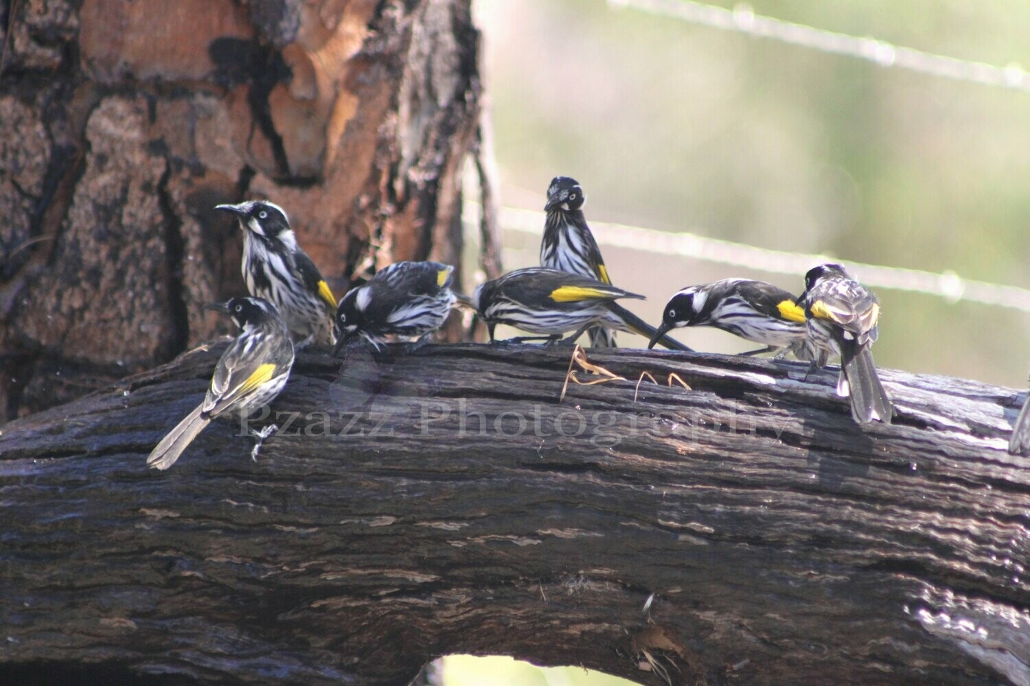 Pzazz Photography - Honey Eaters - Full Drill Diamond Painting - Specially ordered for you. Delivery is approximately 4 - 6 weeks.