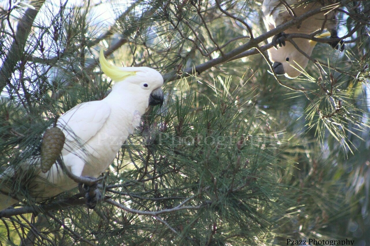 Pzazz Photography - Sulphur crested cockatoos - Full Drill Diamond Painting - Specially ordered for you. Delivery is approximately 4 - 6 weeks.
