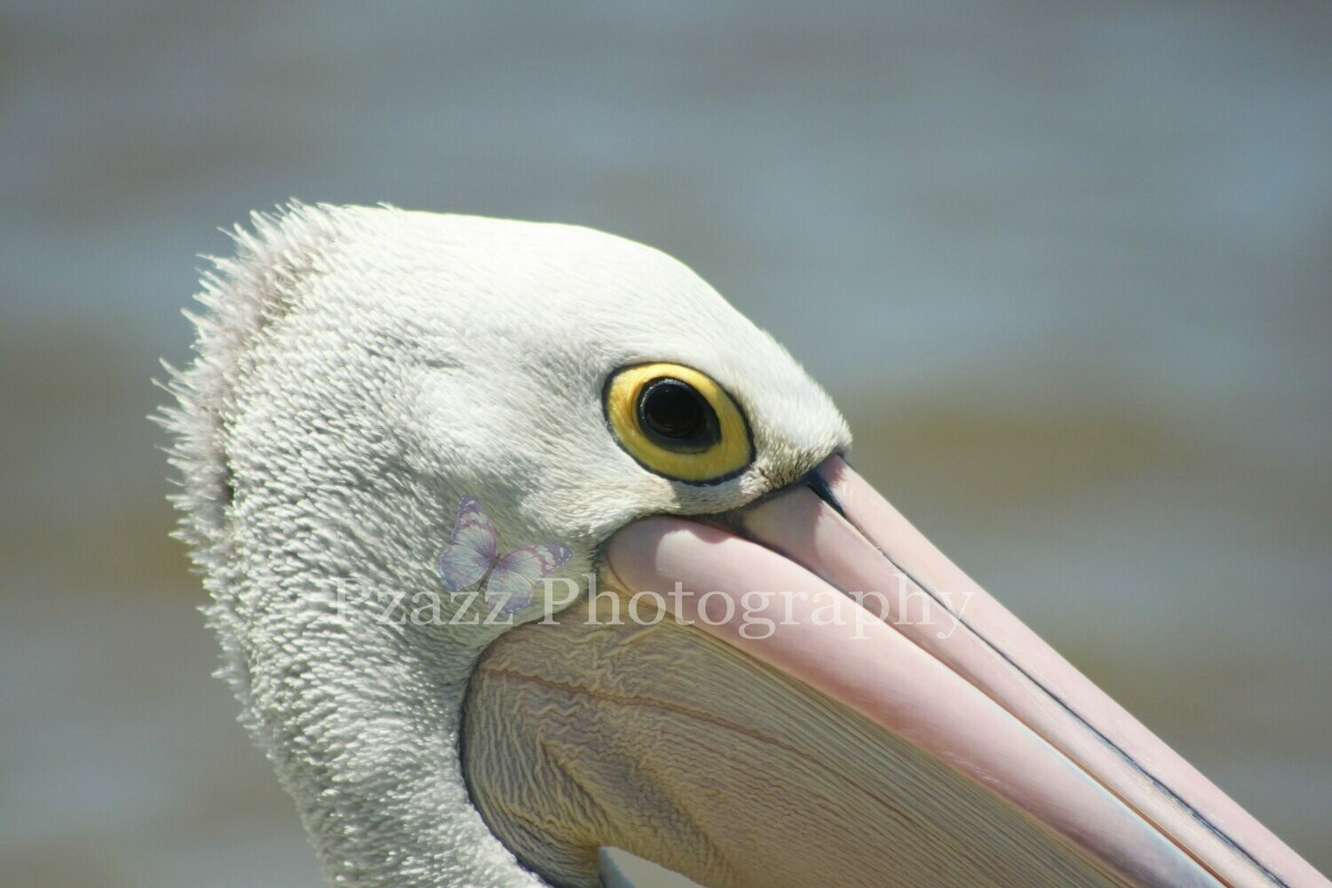 Pzazz Photography - Pelican Closeup - Full Drill Diamond Painting - Specially ordered for you. Delivery is approximately 4 - 6 weeks.