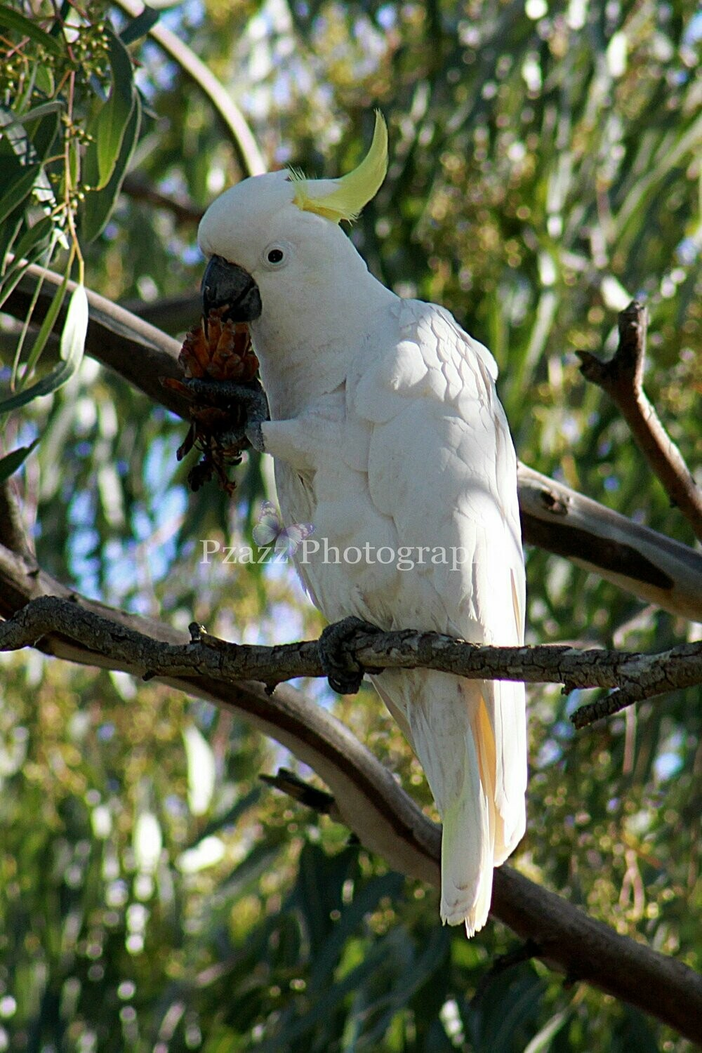 Pzazz Photography - Sulphur crested cockatoo - Full Drill Diamond Painting - Specially ordered for you. Delivery is approximately 4 - 6 weeks.