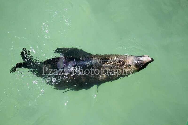 Pzazz Photography - Seal Swimming 02 - Full Drill Diamond Painting - Specially ordered for you. Delivery is approximately 4 - 6 weeks.