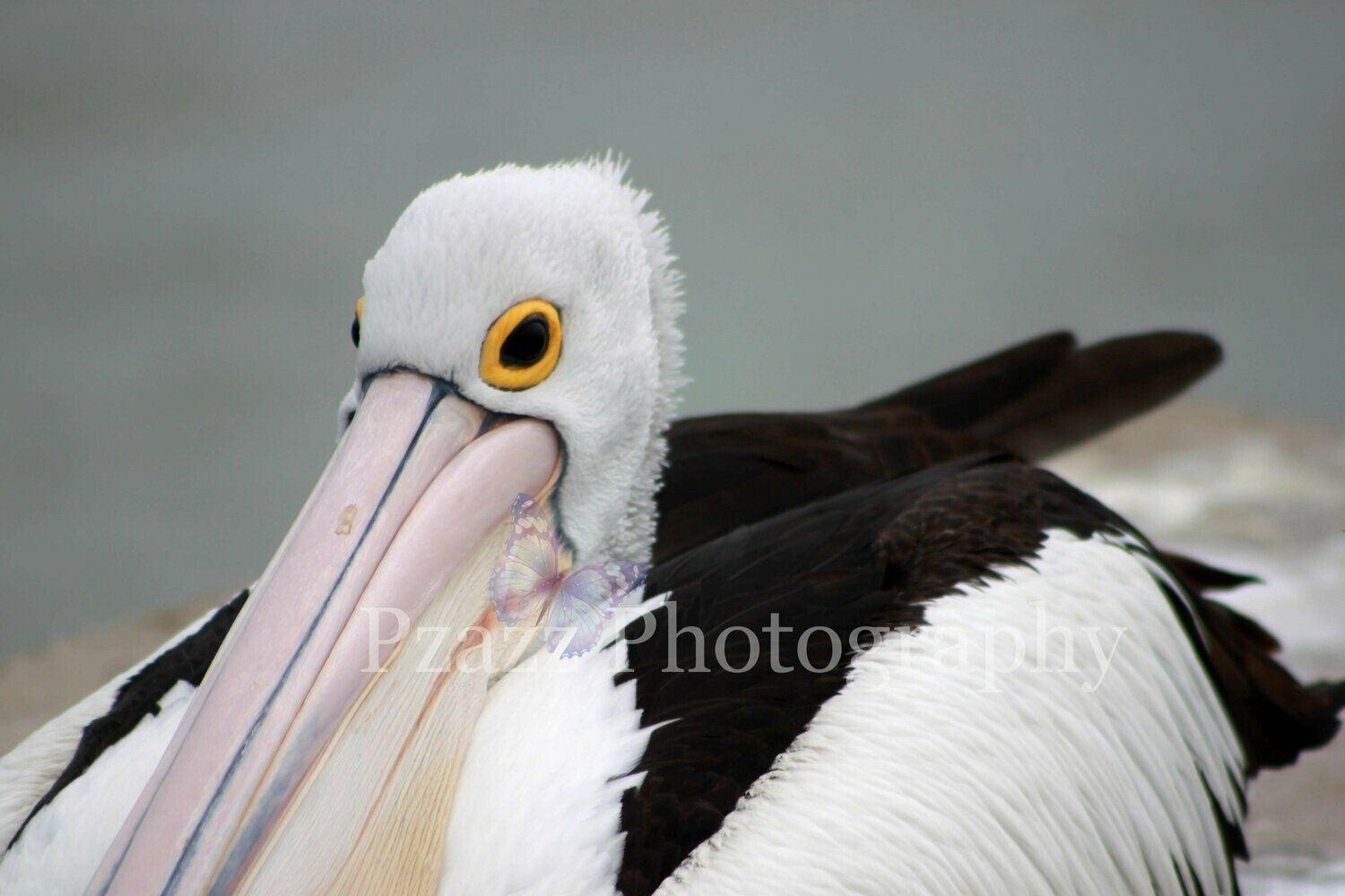Pzazz Photography - Pelican - Full Drill Diamond Painting - Specially ordered for you. Delivery is approximately 4 - 6 weeks.