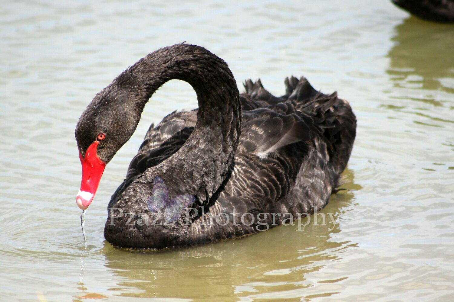 Pzazz Photography - Swan - Full Drill Diamond Painting - Specially ordered for you. Delivery is approximately 4 - 6 weeks.