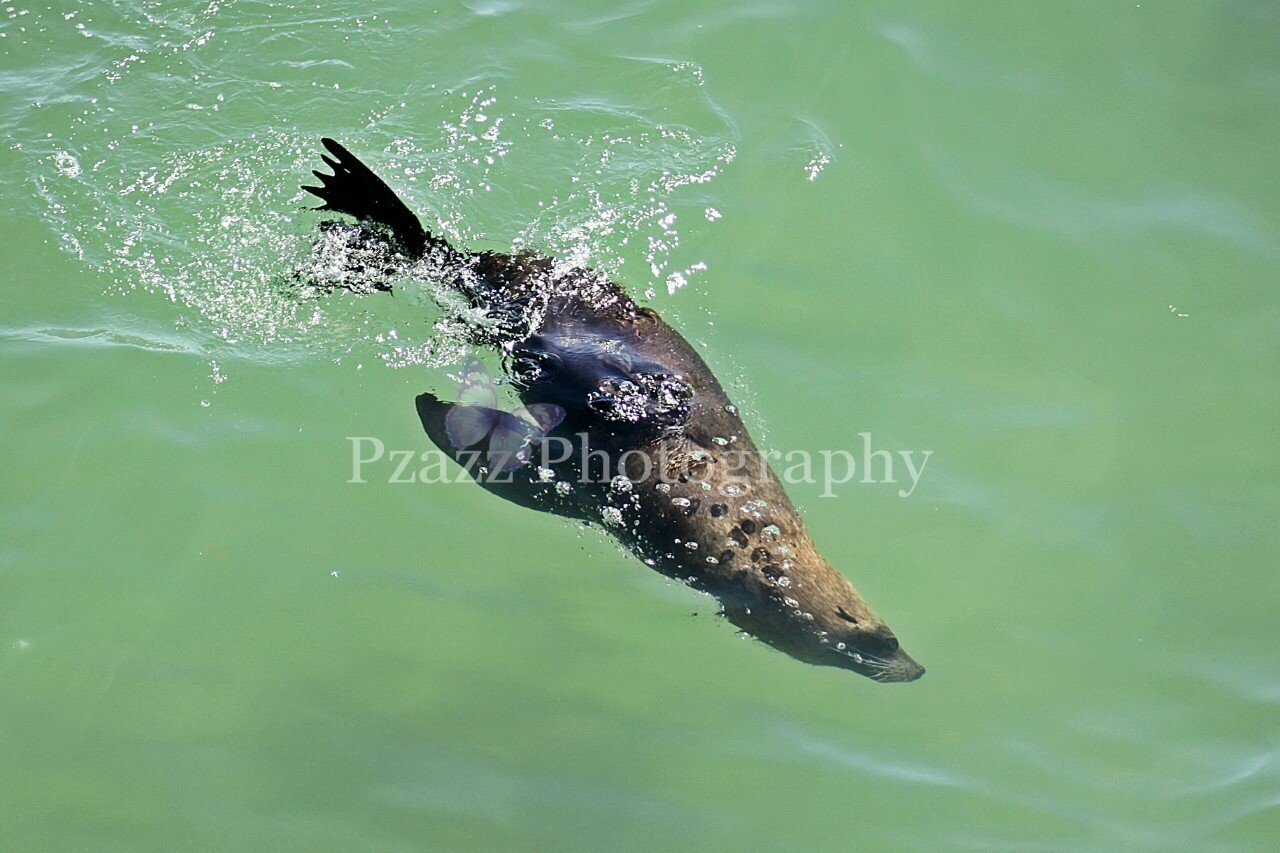Pzazz Photography - Seal Swimming 01 - Full Drill Diamond Painting - Specially ordered for you. Delivery is approximately 4 - 6 weeks.