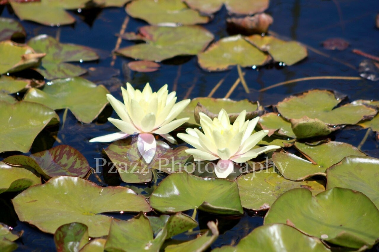 Pzazz Photography - Water Lillies - Full Drill Diamond Painting - Specially ordered for you. Delivery is approximately 4 - 6 weeks.